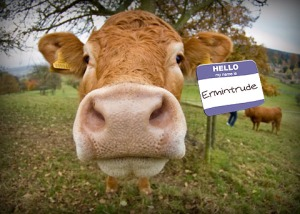 cow-with-name-badge_3
